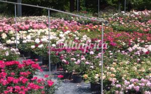 10 PRODUZ RO ORT rose gallery