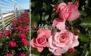 11 PRODUZ RO ORT rose gallery