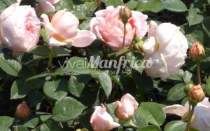 12 PRODUZ RO ORT rose gallery