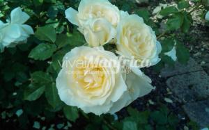 14 PRODUZ RO ORT rose gallery