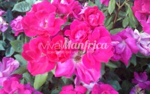 15 PRODUZ RO ORT rose gallery