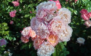 1 PRODUZ RO ORT rose gallery