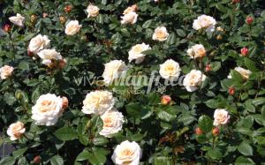 6 PRODUZ RO ORT rose gallery