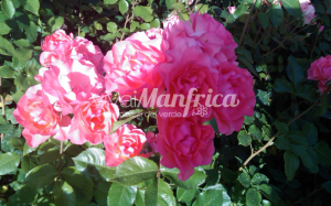 7 PRODUZ RO ORT rose gallery