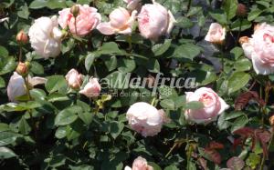 8 PRODUZ RO ORT rose gallery