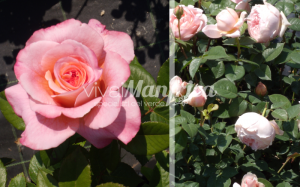 9 PRODUZ RO ORT rose gallery